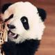 熊猫卫士Panda 纯DOS通用版